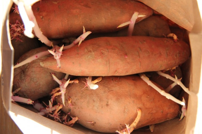 sprouted yams