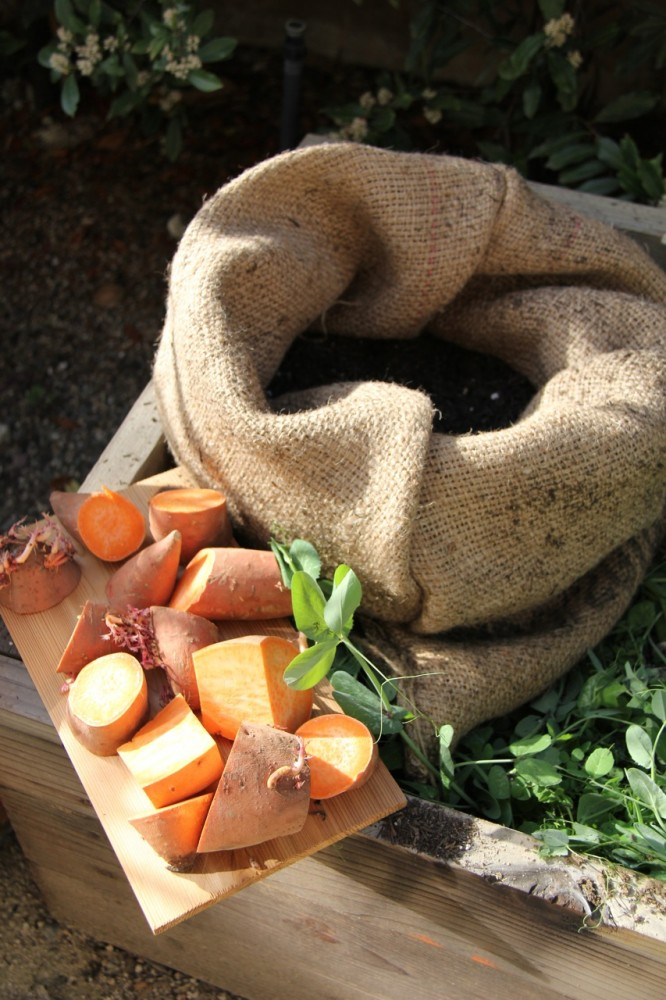 planting yams in coffee sacks
