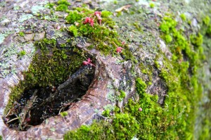japanese maple bark and moss