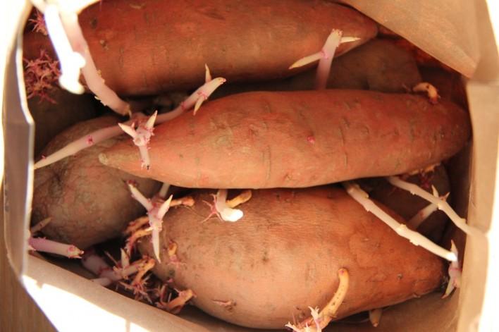 Growing Potatoes And Yams In Coffee Sacks Imeeshu