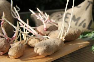 growing potatoes and yams in coffee sacks