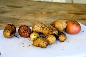 harvesting potatoes grown in coffee sacks